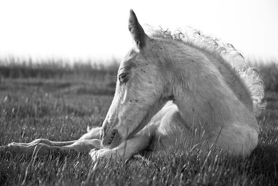PRECIOUS. Foal Print, Equine Art, Black and White Photo, C Type Print, Animal Art, Horse Picture