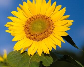 Fine Art yellow sunflower wall art photography photo print home decor