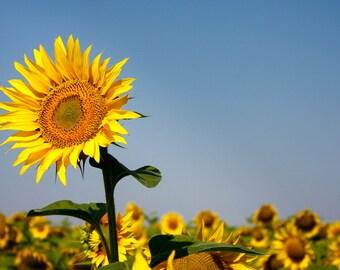 Vibrant single sunflower in field.
