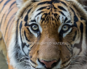 Tiger, Tigers, Malayan Tiger, Big Cats, Cats, Fine Art Prints, Nature Photography, Wildlife Photography, Photos