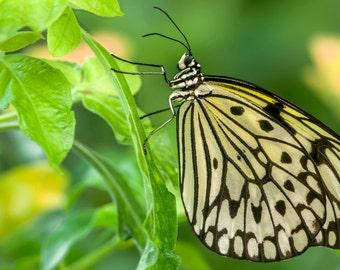 Digital Download: Ceylon Tree Nymph butterfly photo