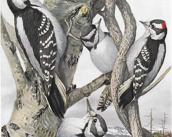 Hairy and Downy Woodpecker Louis Aggasiz Fuertes Bird Print 1914