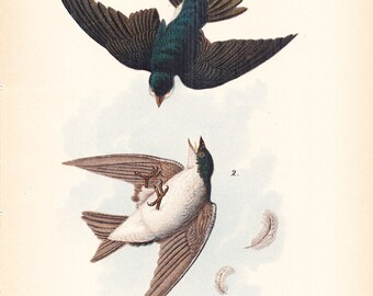 1890 Audubon Bird Print - White Bellied Swallow - Vintage Antique Book Plate Natural Science History Great for Framing 100 Years Old