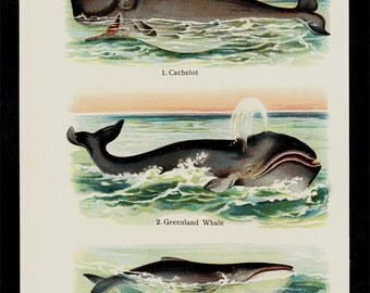 1909 Antique print of cetacean species, Whale, Cachelot, lithograph + 100 years older