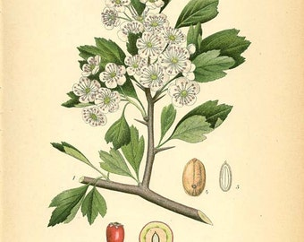 HAWTHORN ANTIQUE ILLUSTRATION 1905 - Herbal Botanical Drawing Book Page Plate 286