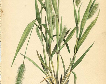 Botanical Weed Illustration Book Page  1 - GREEN FOXTAIL