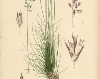RED FESCUE and Sheep Fescue  Botanical 1905 Book Page Grass  Illustration Wildflower Drawing Plate 443