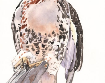 Red Tailed Hawk Watercolor painting - Print of watercolor painting- RTH7815 - A3 size print wall art print - bird art - art print - wildlife