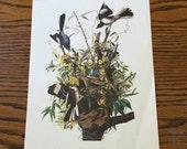 Vintage Color Lithograph Print- Mockingbird- Audubon/ Bird Series- Ornithology Prints