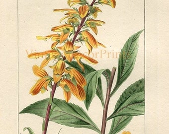 Antique Botanical Print by Pancrace Bessa. Foxglove. Digitalis Canariensis. Original Handcolored Botanical Engraving. Gift for Gardener