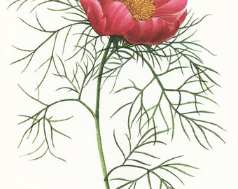 Vintage botanical art  Fern leaf peony poster Purple Peony print Flower poster Floral decor French country decor Redoute flower art