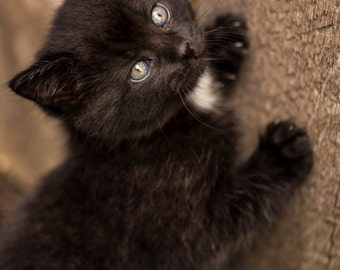 Cute Little Black Kitten Photograph. Nature Photography. Home Decor. Art Deco. Wall Art.