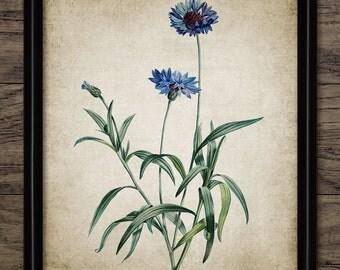 Cornflower Print - Blue Flower Illustration - Botanical Flower Art - Digital Art - Printable Art - Single Print #111 - INSTANT DOWNLOAD