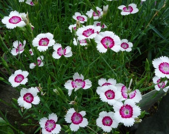Dianthus 'Arctic Fire' Seeds