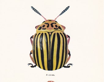 vintage beetle art print Colorado potato Beetle Leptinotarsa decemlineata home decor 8x10 inches