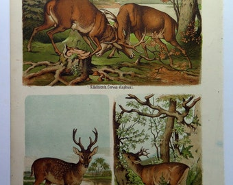 Deer color engraving, 1885 Caribou Moose horns print, curious antique Atlas big size,  Colossal Poster of different species of mammals.