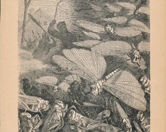 1887 Locust Swarm Antique Print
