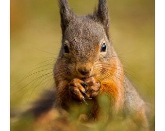 Red Squirrel - Autumn Red