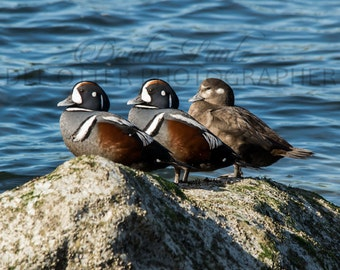 Harlequin Trio Photo Print: Harlequin Duck