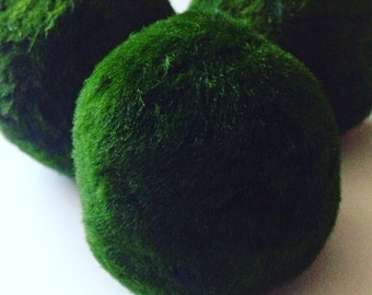 2X Large Marimo Moss Balls Live Aquarium Plants
