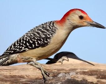 Red Bellied Woodpecker, bird, songbird, nature, photo, print, nature photography, wall art, home decor, bird photography, free shipping