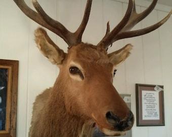 Taxidermy Shoulder Mount Elk 6 x 6 FREE SHIPPING