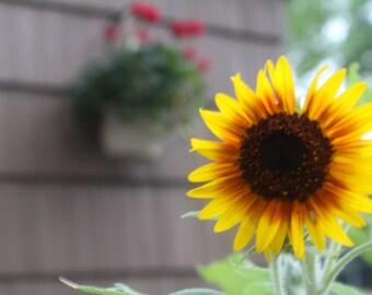 Close-up Sunflower Photograph