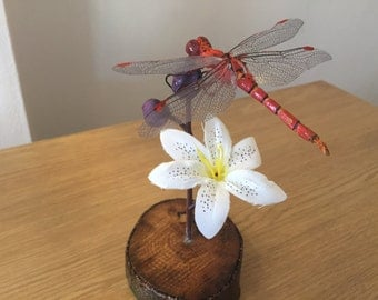 Common red darter dragonfly