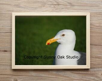 Photograph of seagull, seagull photo, bird photo, bird eye photo, bird beak photo,beach photo, animal photo