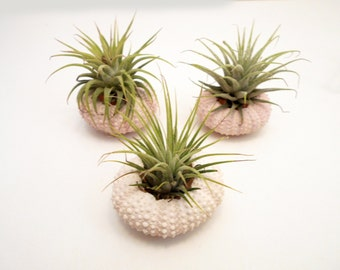 "3 Beautiful Air Plants w. Pink Sea Urchins Nautical Gift Beach Decor Planters 2"" Tillandsia Coastal Cottage Unique Desk Accessories"