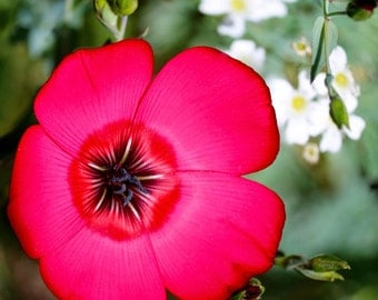 Scarlet Flax (250, 500, 1000, 2000 seeds) bright red colorful flowers bulk #210