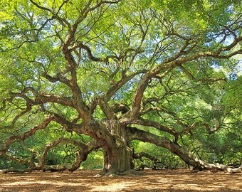 Magnificent Angel Oak, John's Island, SC -- 20x30 wrapped canvas Limited Edition, home decor, wall art, South Carolina, Sale price!