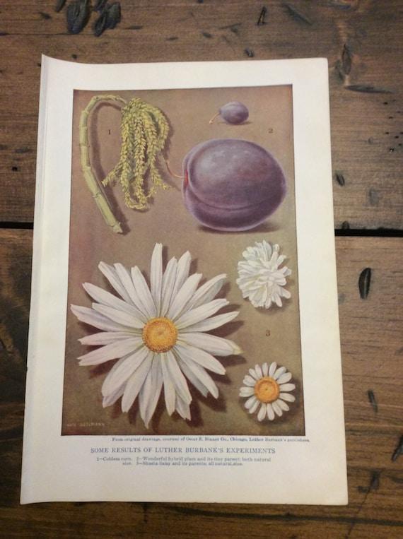 Antique Print, Botanical, Hybrid Daisy, Book Plate, Lithograph (B019)