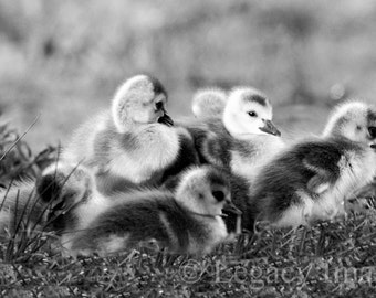 Goose, Photography, Baby Goose, Photo, Wildlife, Photograph, Baby Duck, Black, White, Nursery Art, Wall Art, Animal, Gosling, Duck, Chick