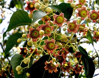 Brachychiton Populneus, Kurrajong Bottle Tree 5 Seeds, Australian Flowering Ornamental Garden, Edible Seeds And Fodder