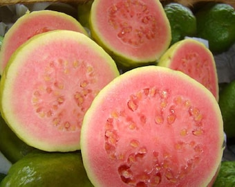 Psidium Guajava 30/300/1800/5400 Seeds, The Common Fragrant Apple Guava Fruit Tree Shrub