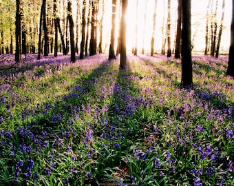 English Bluebell Woods at Sunset Landscape Photograph