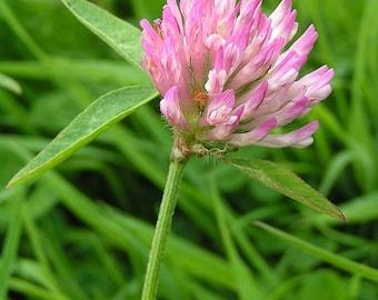 Clover red flowered luminary in bulk - 100gr for herbal tea bag. Saniplante