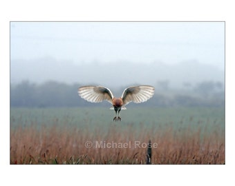 BARN OWL - Hunting during the day