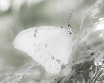 Butterfly Photography: Butterfly, Madame Butterfly, White Morpho, White Butterfly, White green photography, nature photography