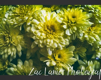 Flowers Photo, Yellow Flowers Photo, Chrysanthemum Photo, Plants Photo, Nature Photo, Spring Flower Photo, Wall Art, Printable Wall Decor