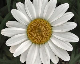 """Shasta Daisy """"ALASKA""""  LIVE PLANT"""