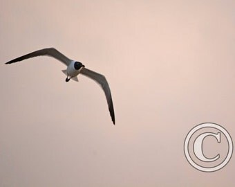 Nature Photos Gull Banking Left Photo Print