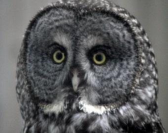 Photo of a great gray owl, a rare bird of prey - an owl Photography