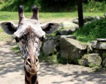 Giraffe, Nature Photography, Animal Prints, Wildlife Photography