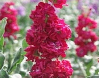 40+ Crimson Red Evening Scented Stock Matthiola / Highly Fragrant / Annual Flower Seeds