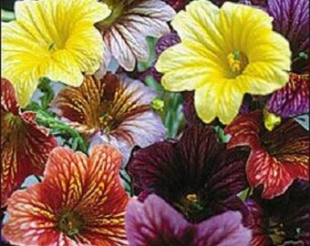 25+ Stained Glass Mix Salpiglossis / Annual Flower Seeds