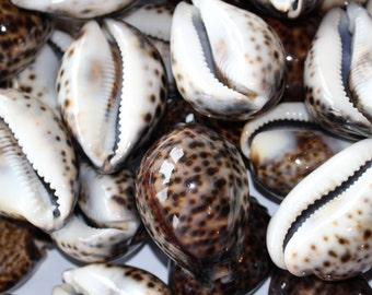 1 Tiger Cowries, Seashells Tigris Tiger Cowries  Shells Tigris Ocean Aquarium Decor