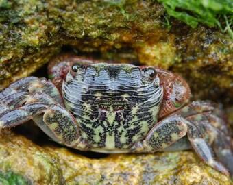 Y2 - Green Crab
