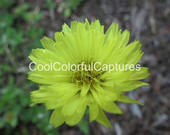 Yellow Wildflower .853 MB Digital Download Stock Photo